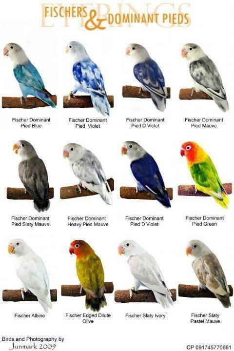 variety of love birds chart paper for kids   kidsfunda